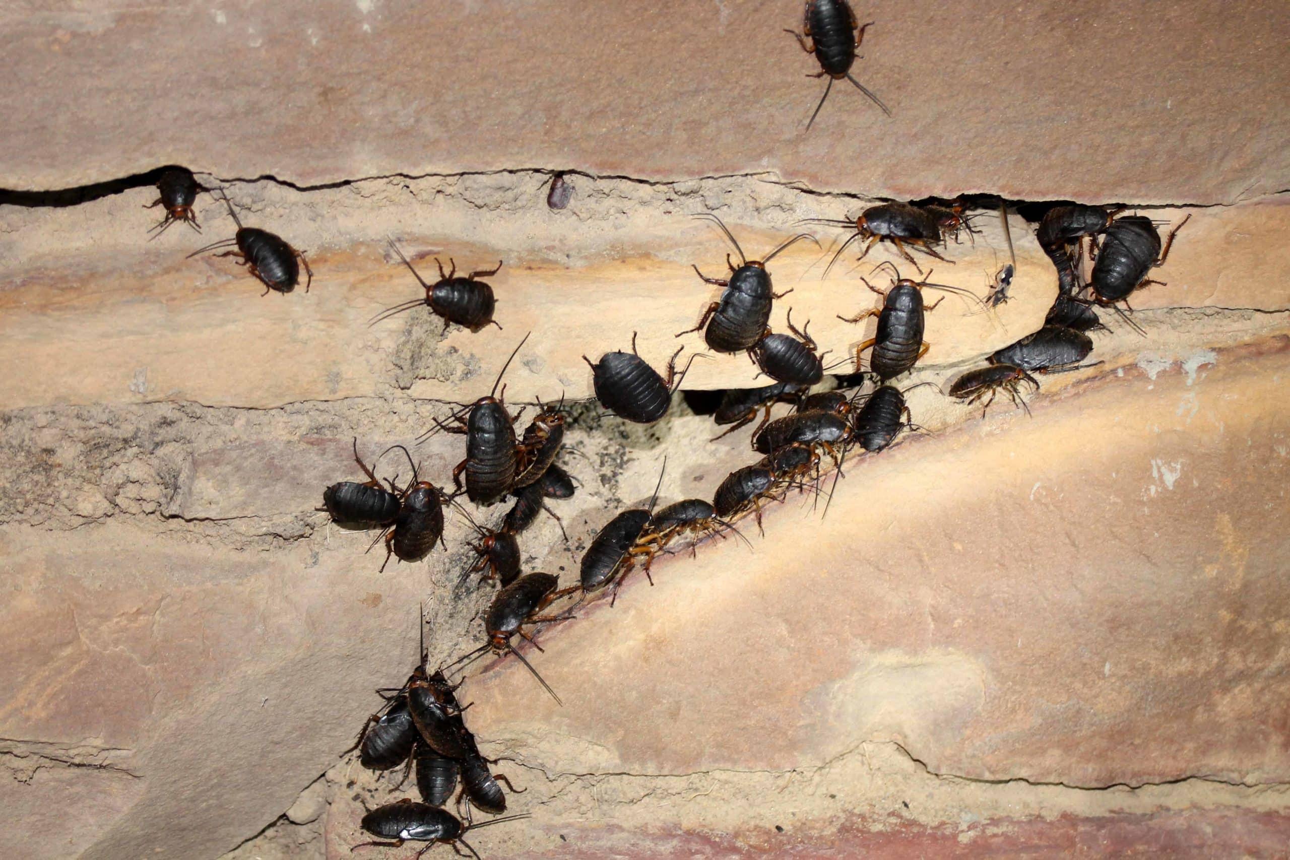 Piccoli Scarafaggi In Cucina scarafaggio nero (blatta orientalis) - scarafaggio.it