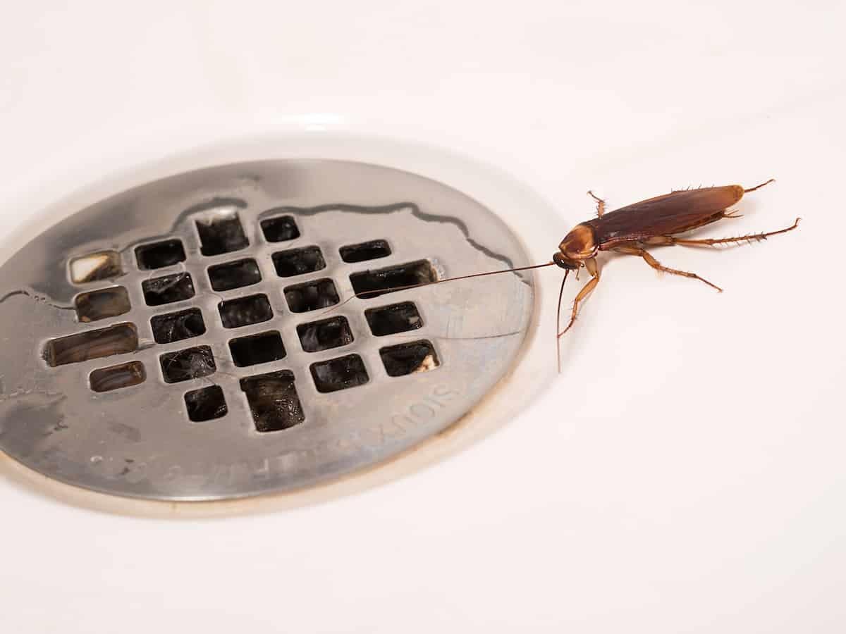 Piccoli Scarafaggi In Cucina da dove vengono gli scarafaggi in casa? - scarafaggio.it