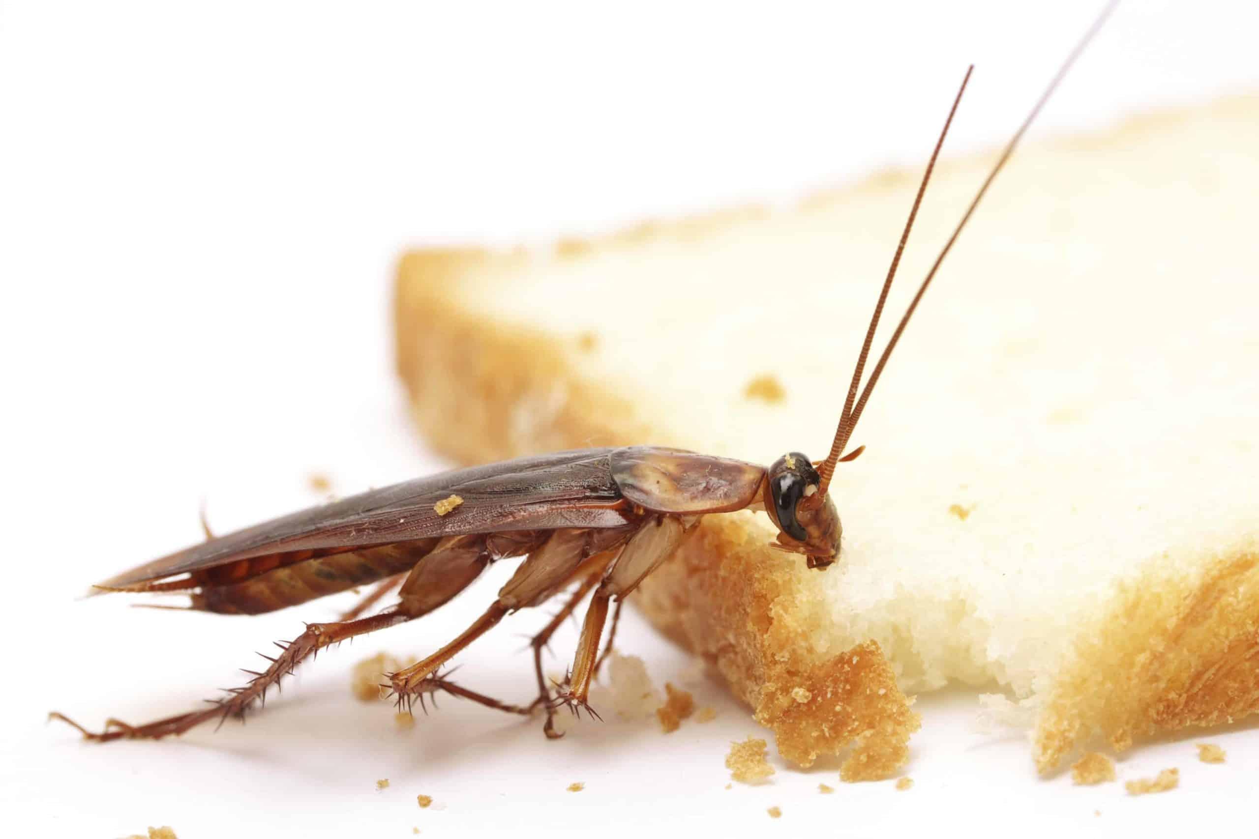 Piccoli Scarafaggi In Cucina cosa mangiano gli scarafaggi e le blatte?
